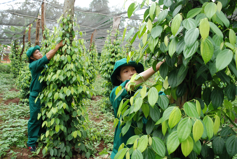 Một gia đình CN NT Ia H'lốp (Cao su Chư Sê) chăm sóc vườn tiêu nhà mình. Ảnh: Văn Vĩnh