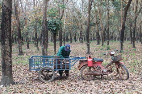 Giá mủ cao khiến công nhân hăng hái bước vào mùa cạo mới. Ảnh: Thanh Bạch
