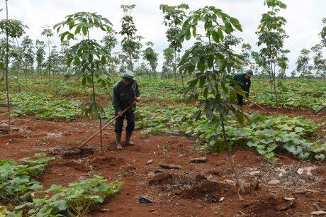 Với vườn cây cao su KTCB, các công ty tuân thủ theo Quyết định 46/HĐTVCSVN ngày 3/7/2017 về việc ban hành Quy định quản lý suất đầu tư trồng và chăm sóc cao su KTCB. Ảnh: Vũ Phong