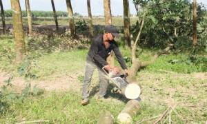 Công nhận gỗ cao su thanh lý là sản phẩm cao su sẽ tạo thuận lợi hơn cho doanh nghiệp trồng cao su trong điều kiện khó khăn hiện nay. Ảnh: Vũ Phong