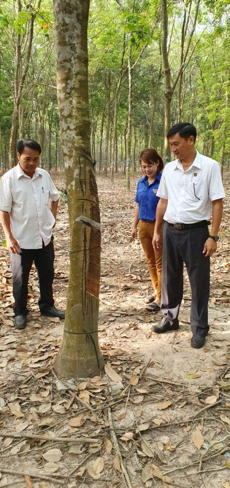 Lãnh đạo NT Lai Uyên kiểm tra vườn cây