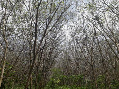 Vườn cây bị nhiễm bệnh Pestalotiopsis tại Thái Lan