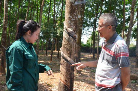 Nàng Bức (bên trái) cùng lãnh đạo NT kiểm tra vườn cây chuẩn bị cho mùa cạo mới.