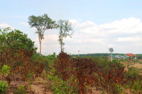 Hơn 1ha cà phê của anh Lê Công Trường đã chết khô vì thiếu nước