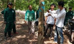 Cán bộ kỹ thuật công ty hướng dẫn CN người Campuchia kỹ thuật khai thác mủ cao su.